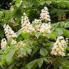 Каштан конский обыкновенный Aesculus Hippocastanum L.