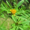 Череда трехраздельная (Золотушная трава) Bidens Tripartita L.