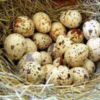 Перепелиные яйца.