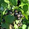 Смородина черная Ribes Nigrum L.