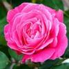 Роза Дамасская Rosa Damascena Mill.
