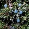 Можжевельник обыкновенный Juniperus Communis L.