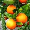Цитрус Уншиу (Мандарин японский) Citrus Unshiu Marc.