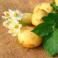 Картошка сорокодневка