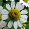 Ромашка аптечная Marticaria Recutita L. (Marticaria Chamomilla L.)