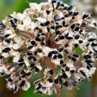 Луковые семена