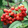 Рябина обыкновенная Sorbus Aucuparia L.