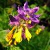 Фиалка трехцветная (Иван-да-Марья, Анютины глазки) Viola Tricolor L.