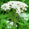 Тысячелистник обыкновенный Achilea Millefolium L.