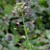 Пастушья сумка обыкновенная Capsella Bursa Pastoris L. Medik.