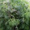 Полынь метельчатая (Полынь веничная) Artemisia Scoparia W. Et L.