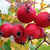 Плоды боярышника.