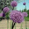 Лук-чеснок Allium Sativum L.