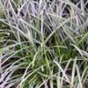 Осока парвская Carex Brevicollis D. C.