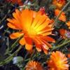 Календула лекарственная (Ноготки) Calendula Officinalis L.