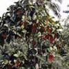 Культура хинного дерева в СССР