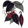 Физостигма ядовитая (Калабарский боб) Phyzostigma Venenosum Balf. - Растение, содержащие холиномиметические вещества (прямого действия и антихолинэстеразные)