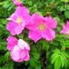 Роза коричная, Шиповник коричный Rosa Cinnamomea L.