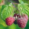 Малина обыкновенная Rubus Ideaus L.