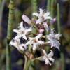 Вахта трехлистная Menyanthes Trifoliata L.