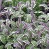 Шалфей лекарственный Salvia Officinalis L.